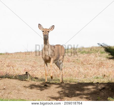 Curious Whitetail doe