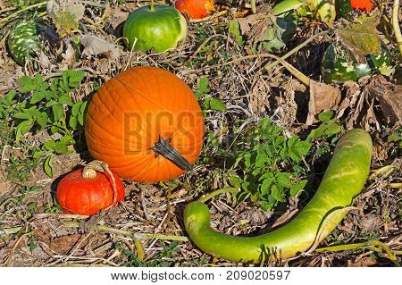 Different shape of squash and pumpkins. Vegetables that ripen in autumn.