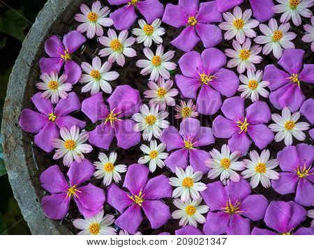 Purple glory flowers and starburst flowers floating on water