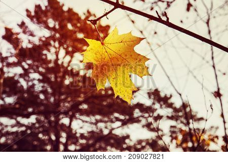 Yellow Maple Leaf As An