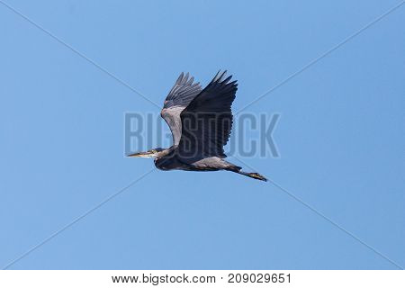 Flying Great Blue Heron with wings pointed upward on a sunny day with blue sky background.