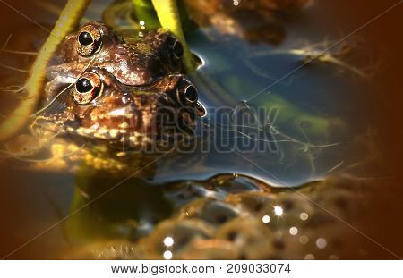 A pair of frogs from ouer pons after laying eegs