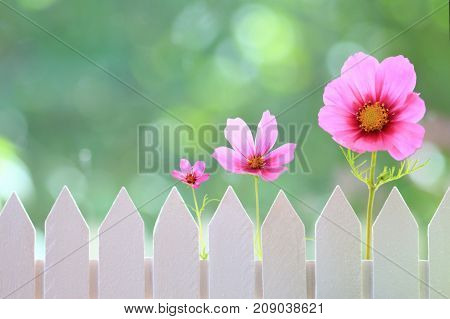 Row of pink flowers in front of a white picket fence