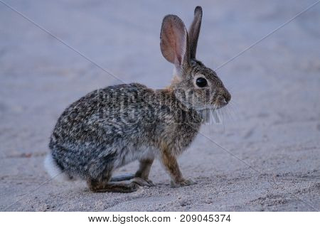 A Desert Cottontail Rabbit in Joshua Tree National Park during Golden Hour.