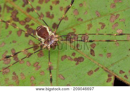 macro image of a harvestman on green leaf