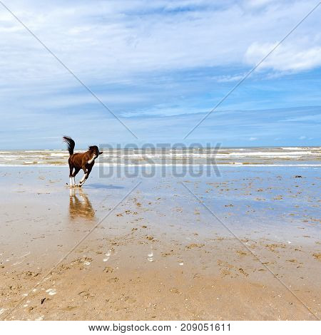 Dancing Horse on the North Sea Coast in Zealand Netherlands