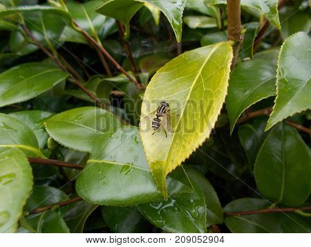 A Common Hover Fly On A Camelia Leaf In England UK ( totally harmless fly even though it looks like a wasp)