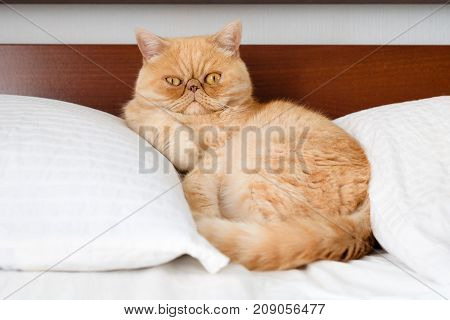 Exotic Ginger Persian Cat On The Bed