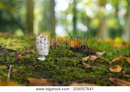 single shaggy ink cab mushroom peeping out of the moss