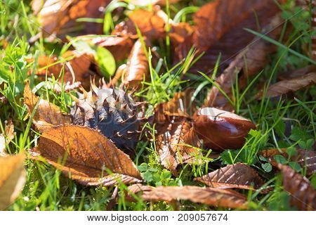 fallen chestnut between grass and leaves in fall time