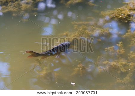 single carp looking for food in a shallow pond