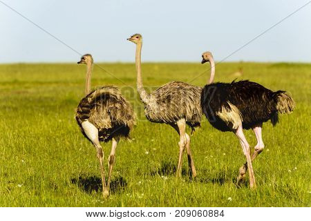 A pair of Ostriches standing close to each other with necks crossed in green grassland