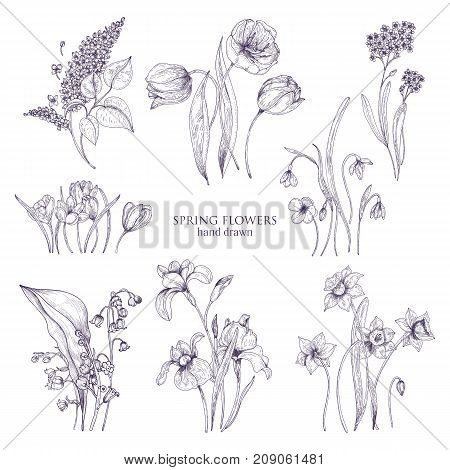 Set of gorgeous botanical drawings of spring flowers - tulip, lilac, narcissus, forget-me-not, crocus, lily of the valley, iris, snowdrop. Blooming plants hand drawn with lines. Vector illustration
