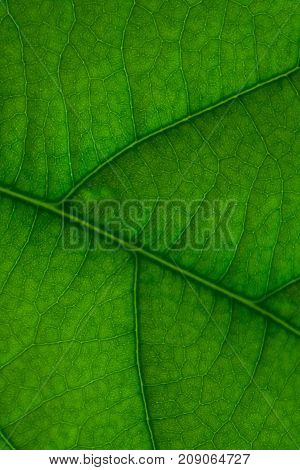 Close up texture of green avocado leaf. Concept symbol of Environmental Conservation.