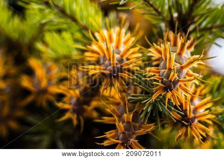 Douglas Fir Tree Branch With Cones On Autumn. Closeup