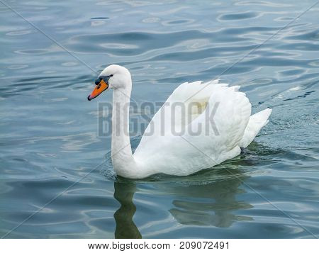 picture of a swimming swan on water surface