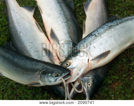 A Nice Days Salmon Catch
