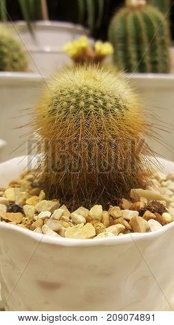 Cactus scientific name Plantae Magnoliophyta Magnoliopsida Caryophyllales Cactaceae