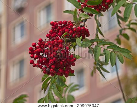 ashberry in sunny day in the street of the city