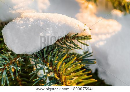 Frosty Fir Branch With Snow On Cold Winter Morning Is Illuminated By The Sun. Closeup