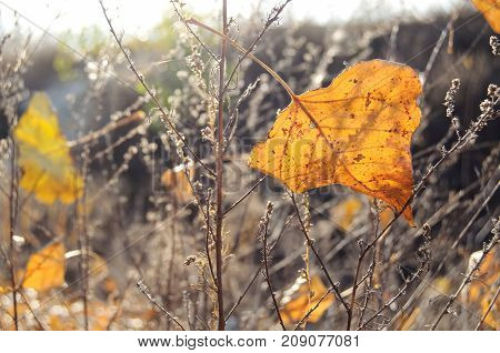 Fall Orange Poplar Leaf On The Background Of Dry Grass. Autumn Backdrop