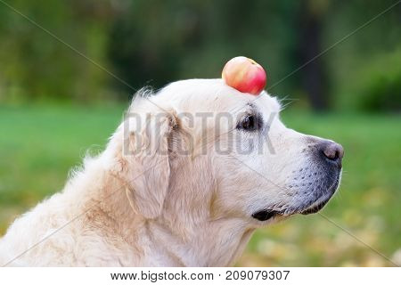 A golden retriever is holding an apple on his nose. Train the dog, teach various tricks to obedience.