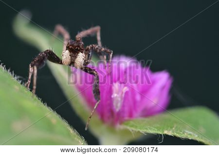 macro image of the world's most intelligent spider - Fringed Jumping Spider