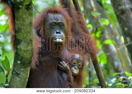 Mother orangutan and cub in a natural habitat. Bornean orangutan (Pongo pygmaeus wurmmbii) in the wild nature. Rainforest of Island Borneo. Indonesia.