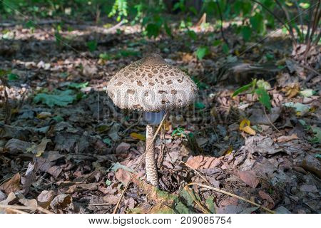 Lepiota parasol mushroom in the forest in summer