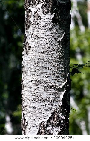 Texture Of The Birch Trunk