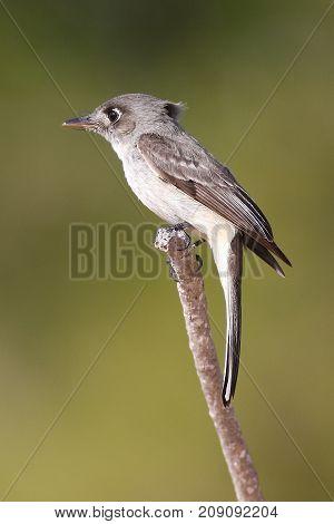 Cuban Pewee endemic bird Contopus caribaeus perched on a branch