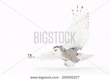 Snowy owl (Bubo scandiacus) hunting over an open snowy field