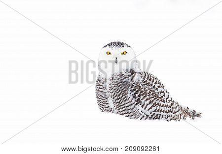Snowy owl (Bubo scandiacus) perched in snowy field