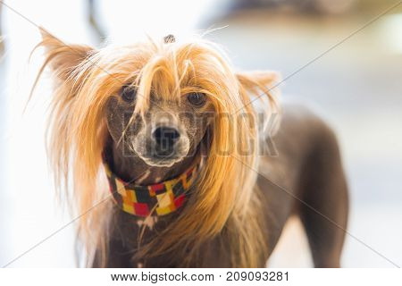 Portrait of Chinese Crested hairless Dog with copy space for text