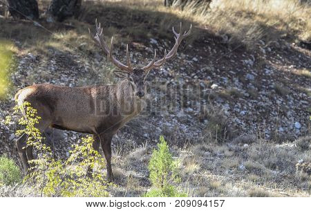Geyik,  Single roaring adult deer with big beautiful horns on snowy field on forest background.Lonely big red adult deer with beautiful horns on a snow-covered field. European wildlife landscape with snow and quietly standing roaring antlered deer with bi