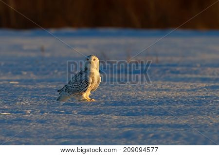Snowy owl (Bubo scandiacus) on snow covered field at sunset