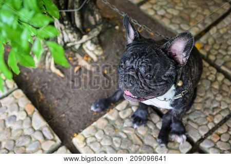 Portrait Of  Black French Bulldog By Top View