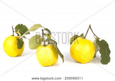 Juicy delicious fresh fragrant useful quince. Fruit with a green stem