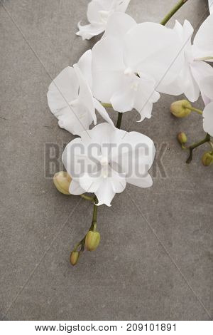 Lying on Orchid flower over grey background