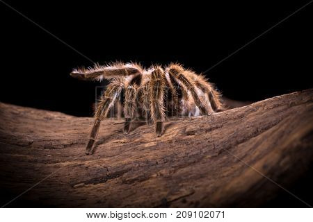 Chilean Rose Tarantula large backlit spider with lots of hairy detail