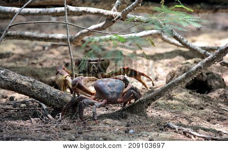 Fight of ghost crabs, Seychelles