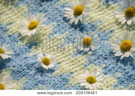 Background of beautiful daisies on a knitted blue texture in summer