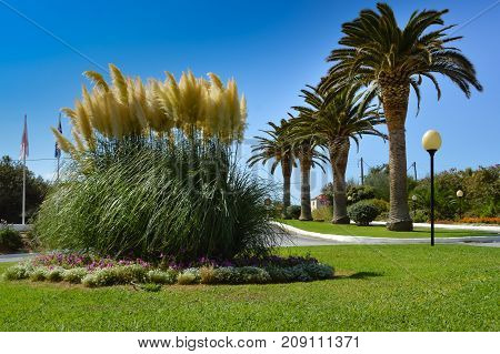 Islet of reeds in bloom in front of a row of palm trees along the Maleme road in western Crete