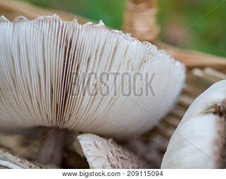 Closeup of collected edible parasol mushrooms or macrolepiota procera outdoors in basket, Berlin, Germany.