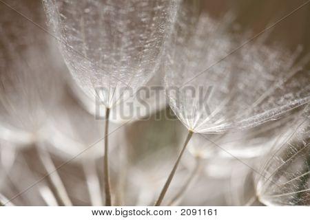 Dandelion Seed Closeup