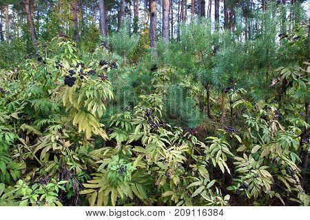 Poisonous danewort (Sambucus ebulus) is an invasive specie that aggressively displaces other plants and destroys the ecosystem