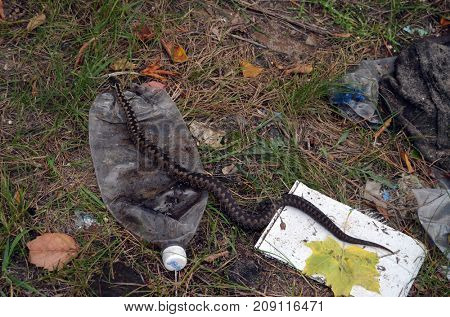 Viper snake in trush.Environmental contamination. Illegal junk dump. October 15, 2017.Forest near Kiev, Ukraine