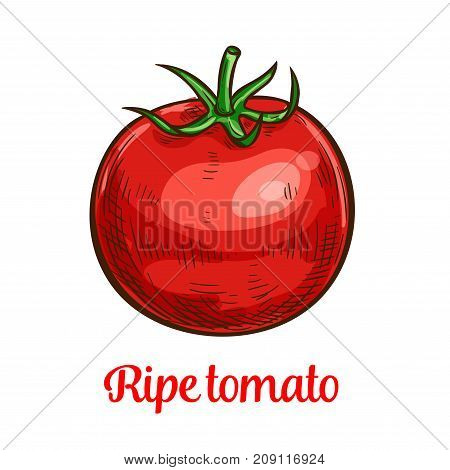 Tomato vegetable sketch of organic natural veggies. Ripe red tomato with green leaf isolated vector icon for agriculture themes, farm market and ketchup sauce label design