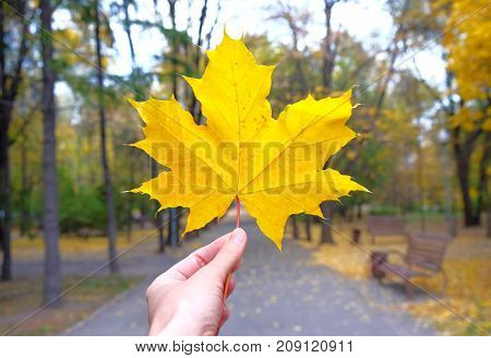 yellow maple leaf in a hand in autumn.