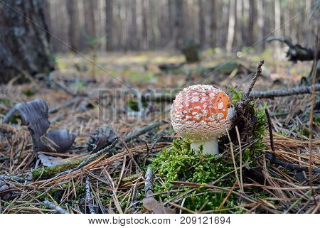 Red fly agaric mushroom or toadstool in the autumn forest. Latin name is Amanita muscaria. Toxic mushroom